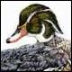 Wood Duck, drake - Ivankovic, Ljubomir