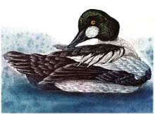 Common Goldeneye - Ivankovic, Ljubomir