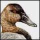 Morillon à dos blanc, mâle - Ivankovic, Ljubomir