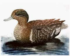 Green-winged Teal, drake - Ivankovic, Ljubomir