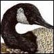 Canada Goose - Ivankovic, Ljubomir