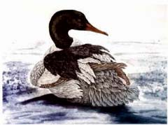 Common Merganser, drake - Ivankovic, Ljubomir