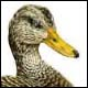 American Black Duck, drake - Ivankovic, Ljubomir